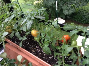 Tomatoes ripening in the sun!