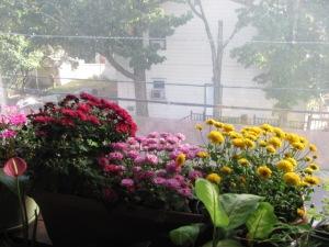 Blooming chrysantamums